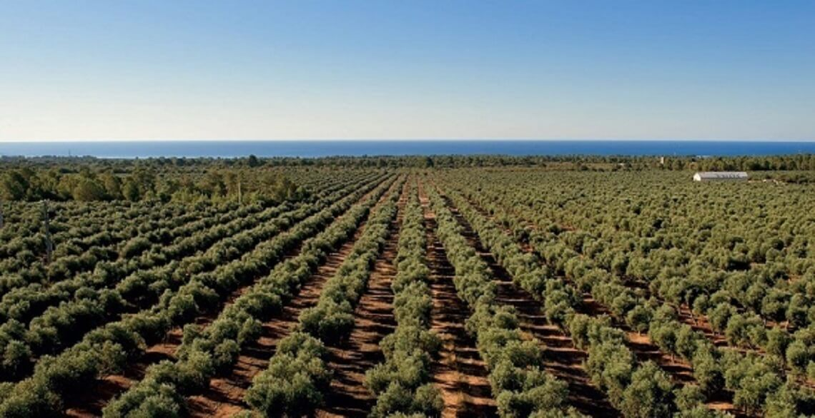 bestes-spanisches-olivenoel-finca-la-gramanosa